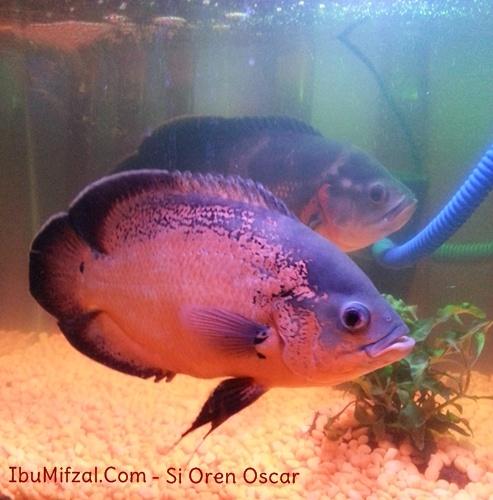 ikan black oscar berwarna oren