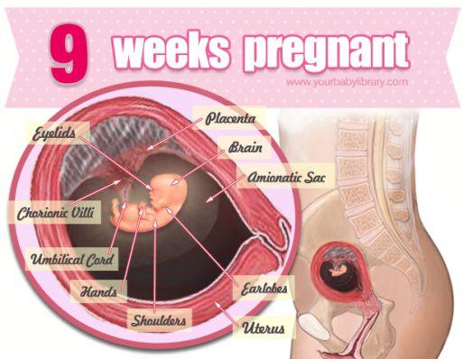На какой неделе беременности матка поднимается